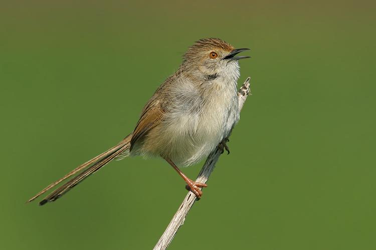 מאמר צילום ציפורים, פשוש
