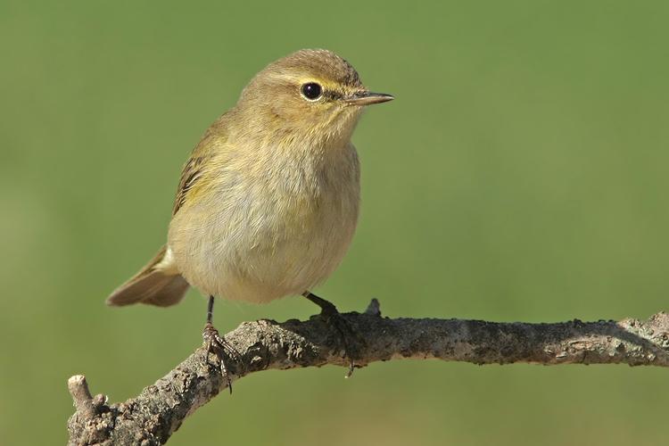 מאמר צילום ציפורים, עלווית חורף